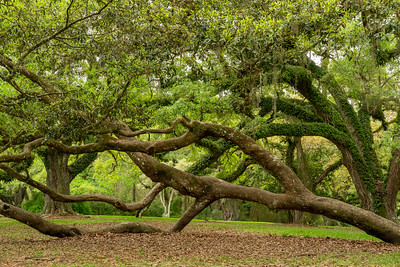 Avery Island Souther Live Oak branches with Resurrection Fern located near Bird City.