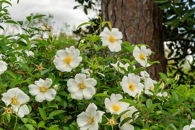 Cherokee Roses growing on Avery Island.