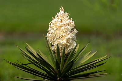 Yucca plant growing in Avery Island's Jungle Gardens.