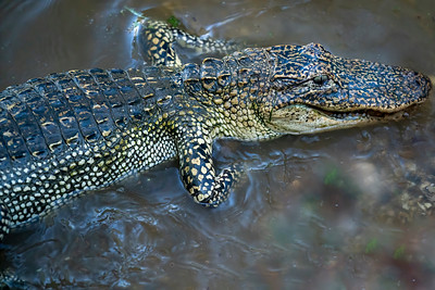 Spotted Alligator on Avery Island.