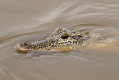 Apotted Alligator on Avery Island.