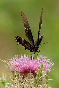 Butterflies love thistle plants on Avery Island, and they have more wings than I realized.