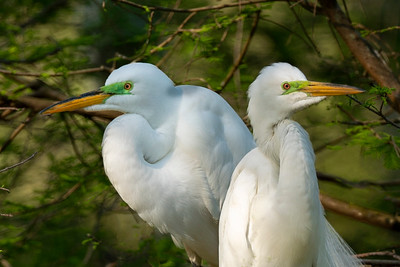 Great Egrets on the lookout on Avery island.