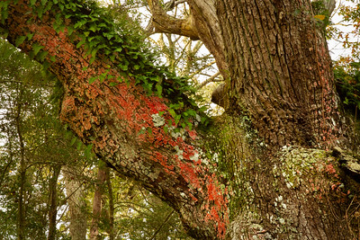 Christmas colors on Avery Island:  Southern Live Oak decked in Scarlet Lichen and Resurrection Fern.