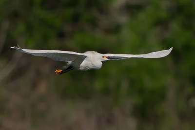 Snowy Egret flying over Bird City.
