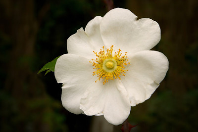"The lovely Cherokee Rose, originally native to southern China, Taiwan, Laos, and Vietnam, is now the State Flower of Georgia.    According to one legend, the Cherokee Rose appeared the morning after tribal elders prayed for a sign that would give the Cherokee women strength to survive and help their children along the ""Trail of Tears,"" when the Cherokee nation was forcibly moved from the southeastern United States to Oklahoma in 1838.  The petals symbolize the women's tears; seven leaves on each stem represent the seven Cherokee clans, and the gold center represents the gold that was taken from the Cherokees after it was discovered on their Georgia lands.  (Source:  Cherokee Society of Houston)"