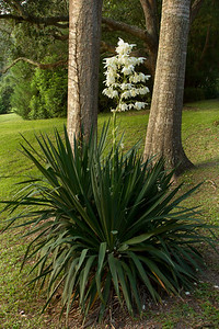 This Yucca bloomed in August on Avery Island.  The Yucca flower is the New Mexico State Flower.