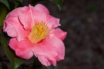 Another as of yet unidentified, but nevertheless beautiful, Camellia in Jungle Gardens.