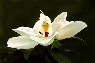 Magnolia Blossom on Avery Island