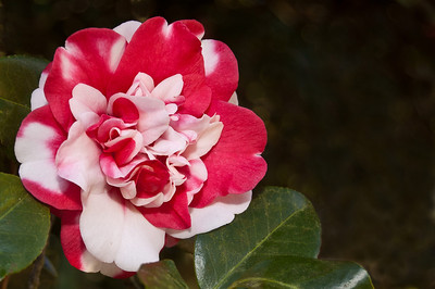 Camellia photographed near the Large Horseshoe area of  Jungle Gardens in January.