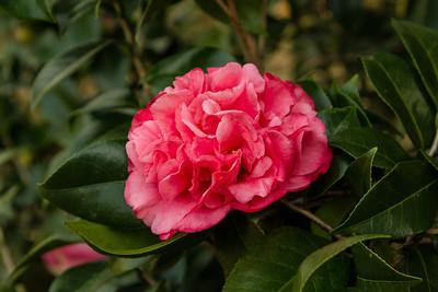Kramer's Supreme Camellia japonica on Avery Island.