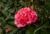 Kramer's Supreme <em>Camellia japonica</em> on Avery Island.