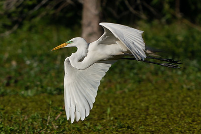 Great Egret flying low over a swamp.