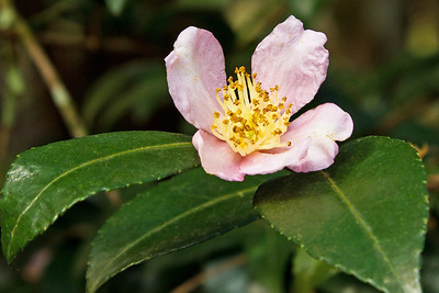 Unidentified camellia blooming in December in Jungle Gardens.
