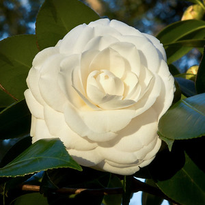Alba Plana Camellia at Deer Run