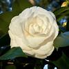 Alba Plana Camellia at Deer Run