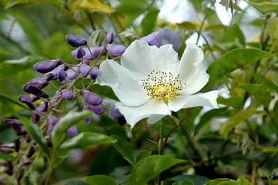 Cherokee Rose with Wisteria on Avery Island.