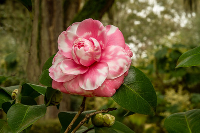 Peppermint Camellia in Jungle Gardens on Avery Island, Louisiana.