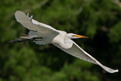 Great Egret flying around Bird City on Avery Island.