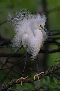 Snowy Egret on Avery Island.