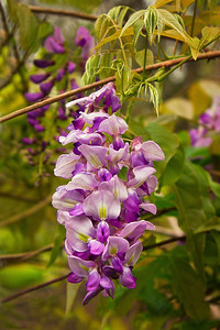 Wisteria on Avery Island.