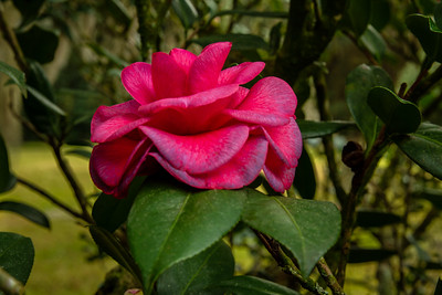 Camellia in Jungle Gardens on Avery Island, Louisiana.