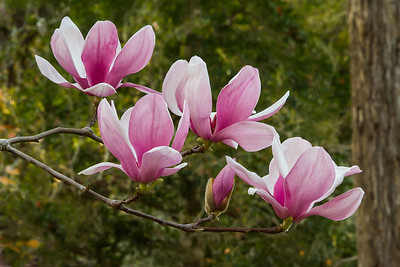 While Magnolia × soulangeana is the botanical name for these trees that bloom in early spring, sporting beautiful large pink, purple, or white flowers, they are commonly called Japanese Magnolias, Tulip Magnolias, or Saucer Magnolias. The blooms pictured above announce that spring is on its way every year in Avery Island's jungle Gardens.