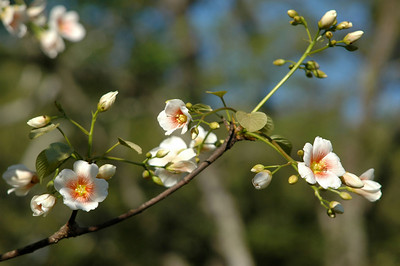 This is a flowering branch of a Tung Tree, photographed on Avery Island in the spring. Tung Trees are native to China, Burma, and Vietnam.  They are valued for Tung Oil, which is derived from the tree's seeds, and was traditionally used in Chinese lamps.   Tung Trees were introduced to the southeast United States in the early 20th century, and today Tung Oil is an ingredient in paint, varnish, and chalk.