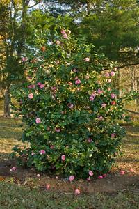 Debutante Camellia japonica bush.