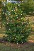 Debutante <em>Camellia japonica</em> bush.