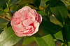 This lovely pink flower is a Debutante Camellia, formally known as <em>Camellia japonica</em>.  Camellias are native to eastern and southern Asia.  They became very popular in Europe in the mid 1800's, and gardeners in South Louisiana began importing them to improve our gardens.  E. A. McIlhenny, who started building Avery Island's Jungle Gardens in the early 1900's, took a special interest in the beautiful plants.  By 1941 he had collected over 700 varieties of Camellias to grow in Jungle Gardens, at least 18 of which he originated.  (see www.junglegardens.org and <em>The History of Jungle Gardens</em> by Lisa B. Osborn, Shane K. Bernard, and Scott Carroll).