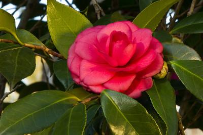 Purple Dawn Camellia japonica.