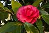 Purple Dawn <em>Camellia japonica</em>.