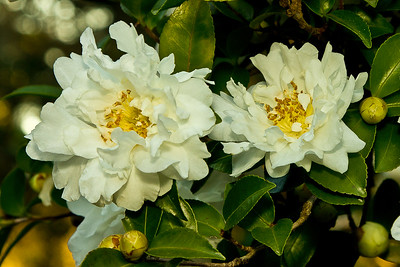Unidentified camellias blooming in December in Jungle Gardens.