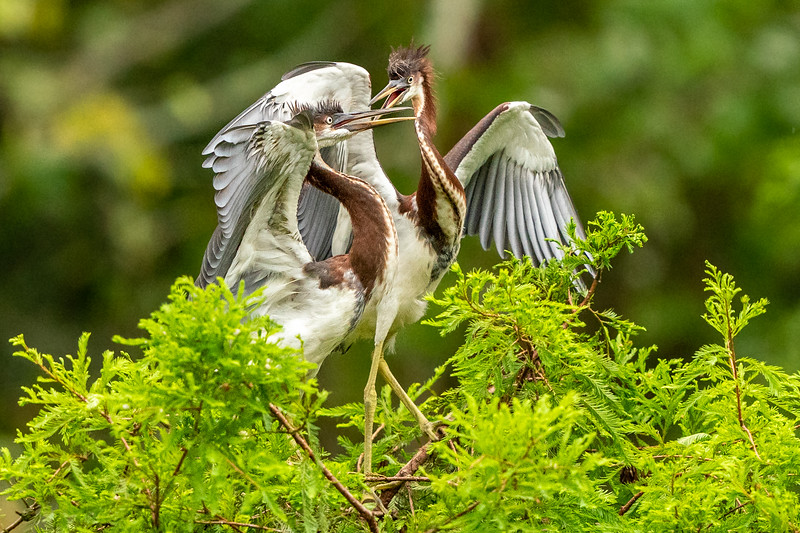 Spirtied conservation among juvenile Tricolored Heron siblings.