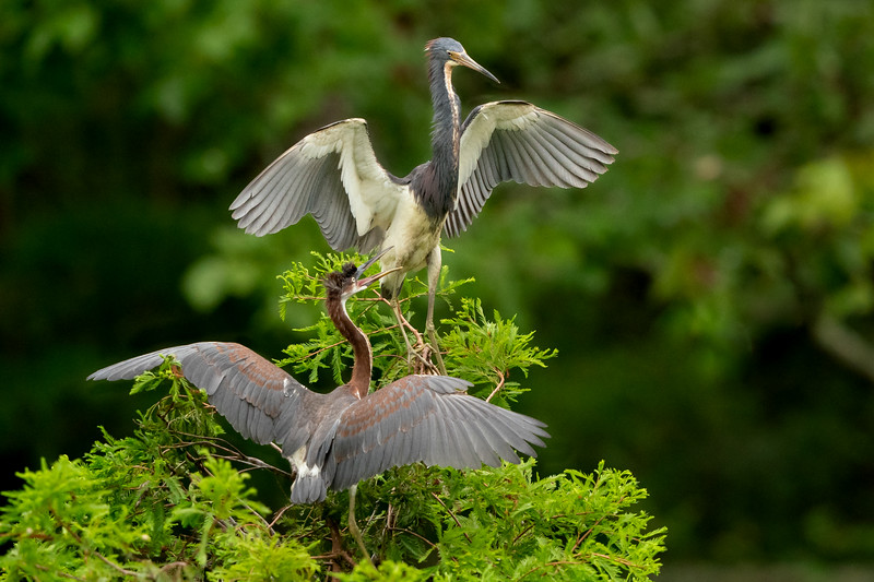 Parent and Juveile Tricolored Heron on Avery Island.