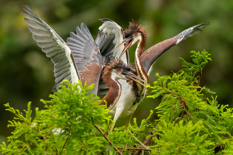 Two juvenile Tricolored Herons having a discussion on Avery Island.