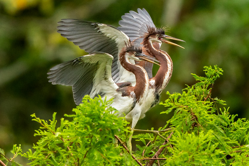 A matching pair of juvenile Tricolored Herons on Avery Island.
