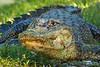 Alligator on Avery Island.