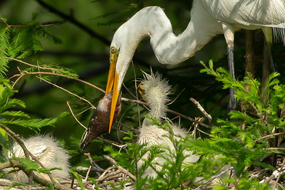 Then got a better grasp on the fish.  By this time all the chicks except one were worn out and back asleep in the nest.
