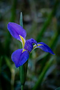 Iris blooming in Jungle Gardens on Avery Island.