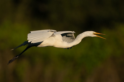 """Great Egret announcing, """"I'm headed home!"""""""