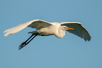 Great Egret flying high over Bird City in Jungle Gardens on Avery Island.