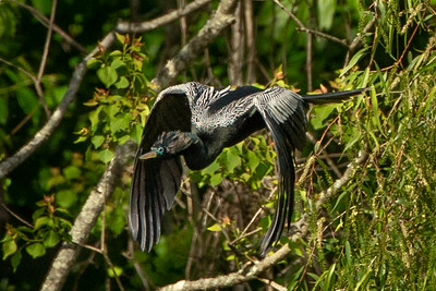 Anhinga in flight on Avery Island.