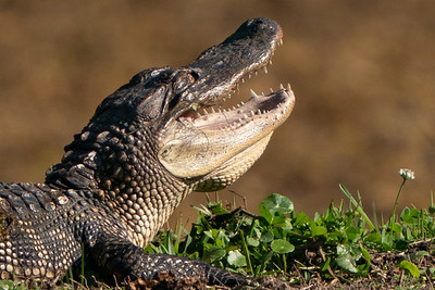 This young American Alligator is enjoying the sun in a patch of clover on the banks of a lagoon in Jungle Gardens.  It is resting with its mouth open to let excess heat escape, thereby helping regulate its body temperature.