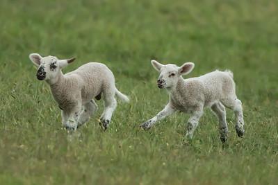 Spring lambs on Avery Island