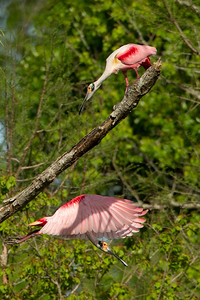 The Roseate Spoonbille flyling under the branch shows the shadow of the top Roseate Spoonbill looking on.