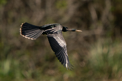 Anhinga flying over Bird City on Avery Island.