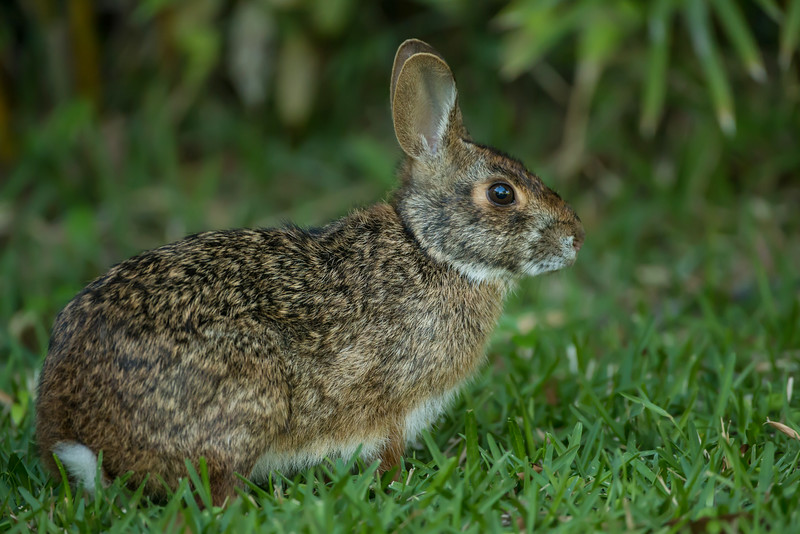 Hippity Hop!  Rabbit on Avery Island.