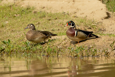 Wood Duck hen and drake on Avery Island.